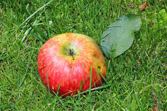 Ripe apple on the garden lawn Royalty Free Stock Images
