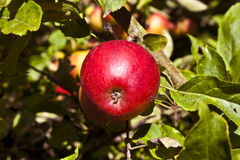 Ripe apple hanging at the tree Stock Image