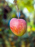 Ripe apple hangs on the tree Stock Photography