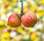 Ripe apple hangs on the tree Stock Image