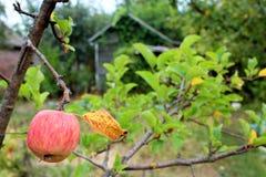 Ripe apple hangs on the tree Stock Image