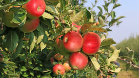 Ripe apple. In orchard, ready for picking Royalty Free Stock Photography