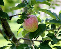 Almost ripe apple with red blush on branch with leaves Royalty Free Stock Image