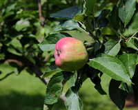 Almost ripe apple with red blush on branch with leaves Stock Photo