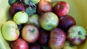 Ripe apple with red and green rind Stock Photography
