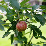 Almost ripe apple with red striping on branch with leaves Royalty Free Stock Photography