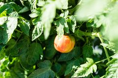 Ripe apple tomate hanging from plant in urban garden Royalty Free Stock Image
