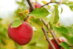 Ripe Apple on the Tree. A ripe red apple in an orchard ready for picking Stock Photo