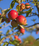 Ripe apple in a tree royalty free stock photo