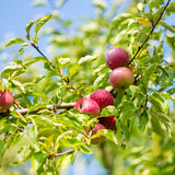 Ripe apple tree brunch Royalty Free Stock Photography