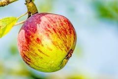 ripe apple at a tree Stock Photos