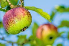 Ripe apple at a tree Royalty Free Stock Photo