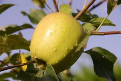A ripe apple in a tree with dew Royalty Free Stock Photo