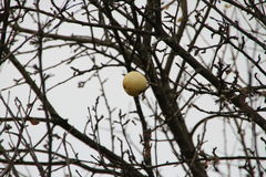 Ripe Apple on the tree. Ripe Apple tree among the leafless branches Royalty Free Stock Image