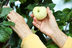 Ripe apple Royalty Free Stock Image