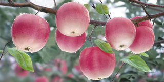 Ripe apples. On the branches with raindrops Stock Image