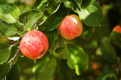 Ripe Apples. Red ripe apples on an appletree branch Royalty Free Stock Photos