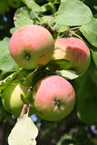 Ripe apples on apple tree Royalty Free Stock Image