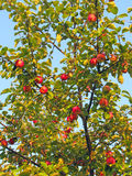 Ripe apples on apple tree Royalty Free Stock Photography