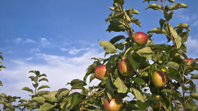 Ripe apples on an apple tree. Taken against the backdrop of the blue sky royalty free stock image