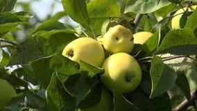 Ripe apples on apple tree branch. 4K. stock video footage