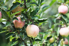 Ripe apples on apple tree branch, orchard fruit cultivation concept. soft focus. shallow depth of field Royalty Free Stock Photos