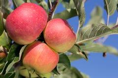 Ripe apples on an apple tree Stock Photos