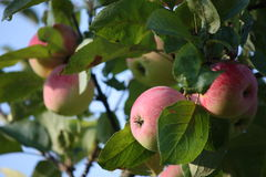 Ripe apples on the apple tree Royalty Free Stock Photography