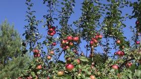 Ripe apples on apple tree stock video