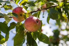 Ripe apples on an apple tree. Some ripe apples on an apple tree Stock Image