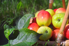 Ripe apples in a basket Royalty Free Stock Photo