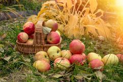 Ripe apples in a basket on the grass. Harvest. Festival. Apples for cider making.  stock photo