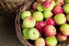 Ripe apples in the basket. Harvest time stock image