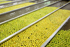Ripe apples being processed and transported for packing Royalty Free Stock Photography