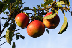 Ripe Apples on a Branch Royalty Free Stock Photos