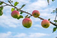 Ripe apples on a branch in the background of a holo-sky with clouds stock photos