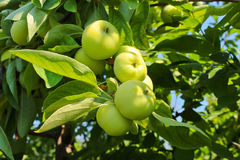 Ripe apples on a branch Royalty Free Stock Images