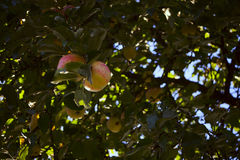 Ripe apples on a branch. The fruits in the apple orchard, ready for harvest Royalty Free Stock Image