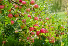 Ripe Apples. A branch full of fresh apples waiting to be picked at an apple orchard Stock Photo