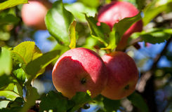 Ripe apples on a branch Stock Photography
