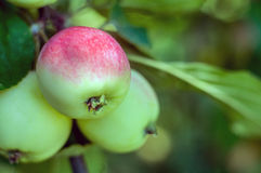 Ripe apples on a branch Stock Photo