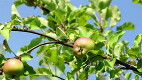 Ripe apples on a branch. Almost ripe green and red apples on a tree branch on a sunny day stock video footage