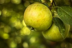 Ripe apples on a branch. Selective focus Royalty Free Stock Photos