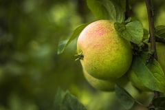 Ripe apples on a branch. Selective focus. Copy space Stock Images