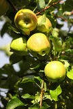 Ripe, apples on the branches of apple tree Stock Photography