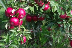 Ripe apples on the branches of a tree in the garden. Selective focus. Stock Photo