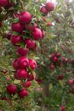 Ripe apples on the branches of a tree in the garden. Selective focus. Royalty Free Stock Images