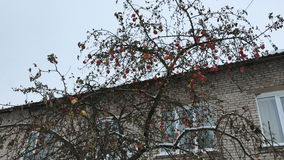 Ripe apples on branches of a tree in winter stock footage