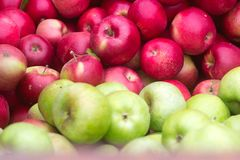 Ripe apples, harvesting in the garden. Royalty Free Stock Photos