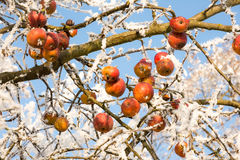 Ripe apples covered with frost Stock Images